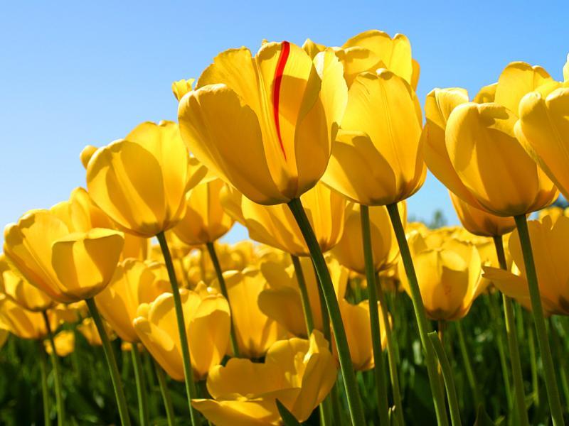 1365158856_tulips